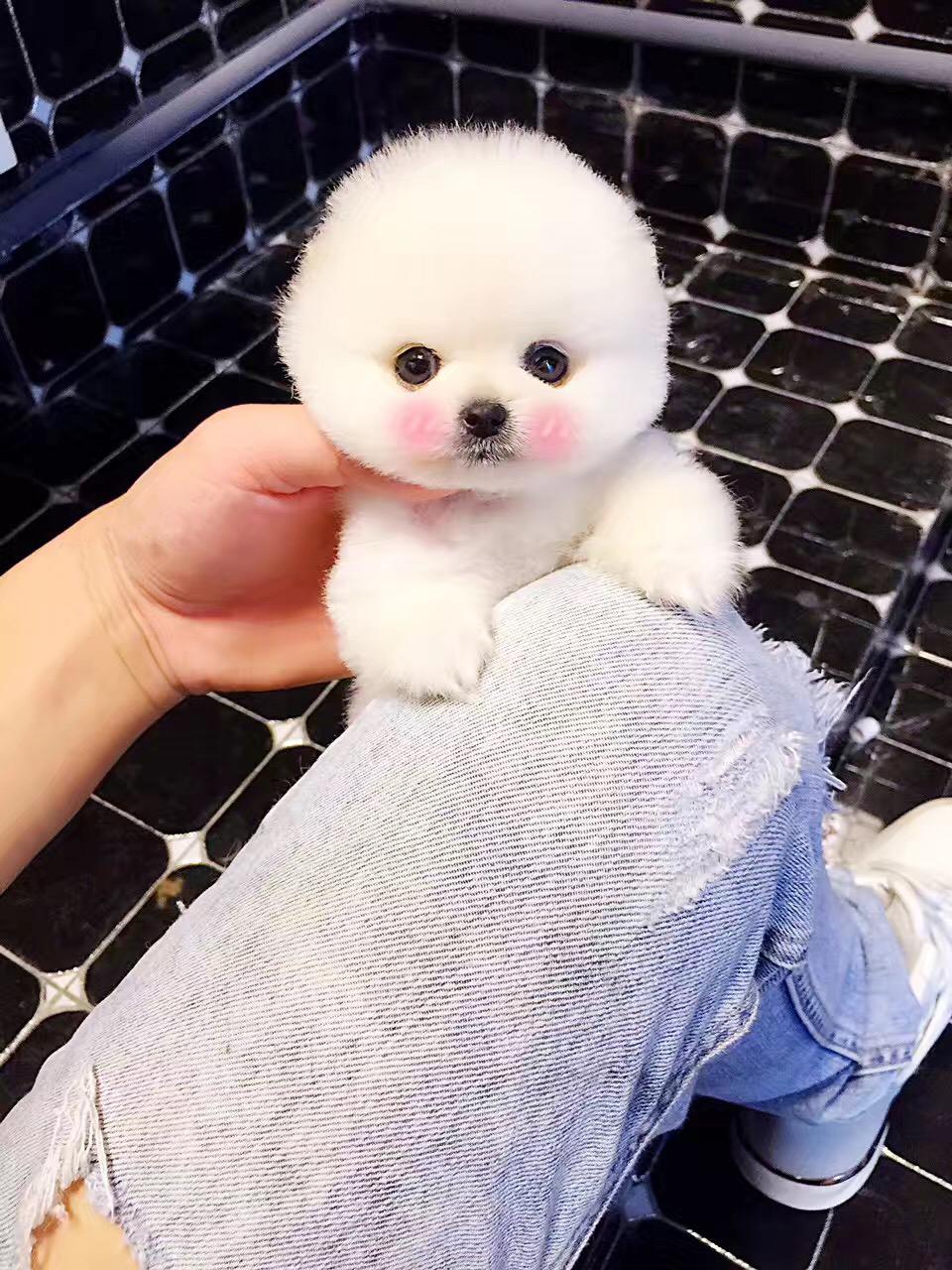 小体博美幼犬宠物狗活体纯种哈多利球形博美茶杯