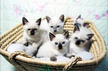 广州猫舍哪里有卖暹罗猫,出售家养暹罗猫 包健康