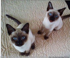 对主人忠心耿耿的暹罗猫深圳暹罗猫哪里有卖
