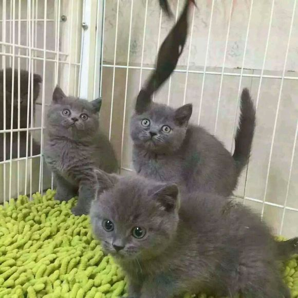 英短蓝猫的优缺点图片