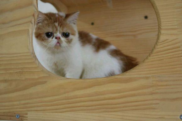 本地猫舍繁育加菲猫广州哪里有纯种的加菲猫卖