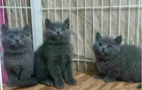 英国蓝猫和俄罗斯蓝猫图片