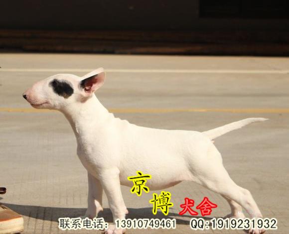 出售纯种牛头梗 牛头梗价格可视频选购 北京京博犬舍直销