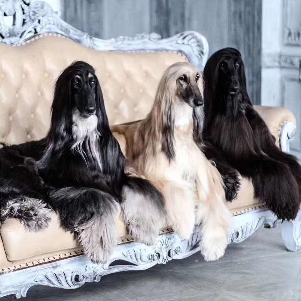 长期繁殖纯拉布拉多金毛 各类纯种名犬 包养活签协议