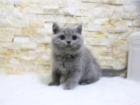 北京蓝猫多少钱 北京蓝猫怎么卖 北京蓝猫价格