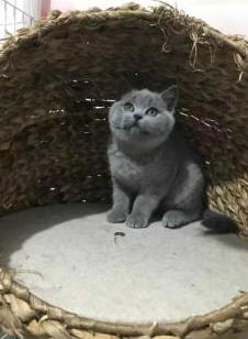北京蓝猫多少钱一只 北京蓝猫怎么卖 北京蓝猫价格