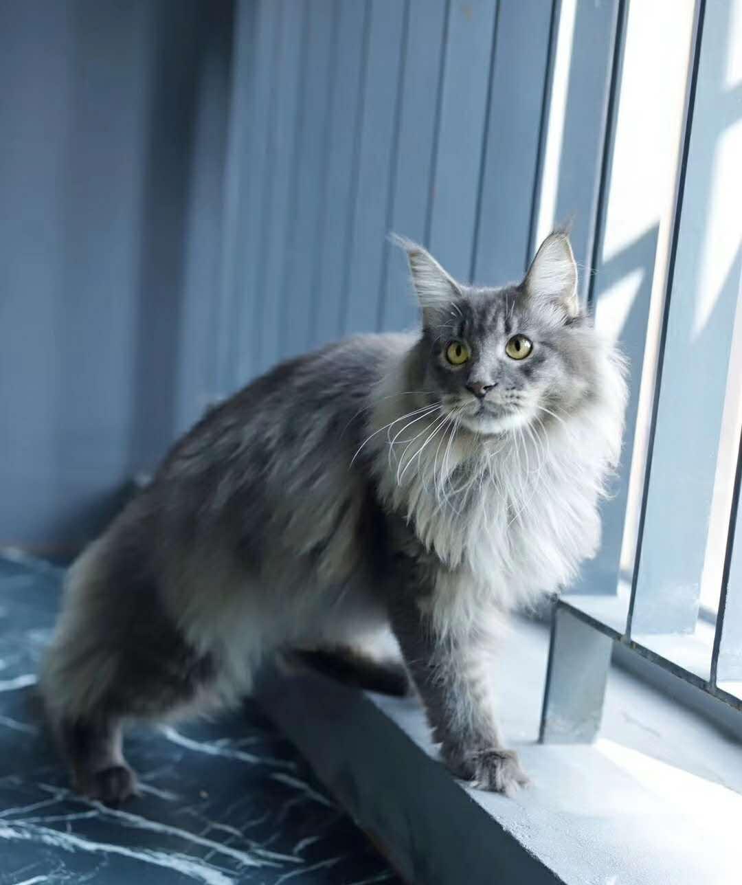 官方保障 高品质   缅因猫   质保出售
