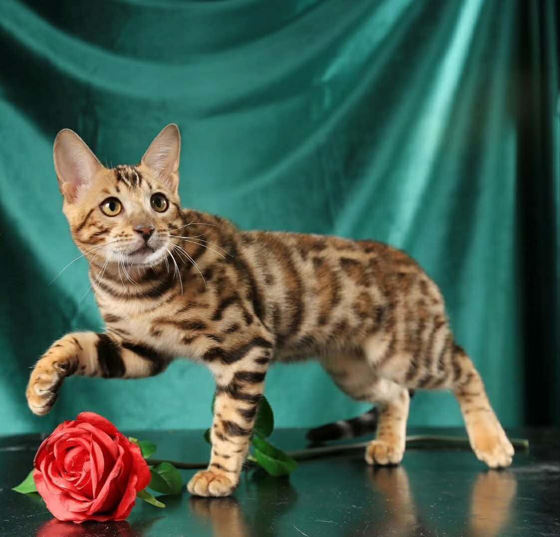 官方保障 高品质   豹猫   质保出售