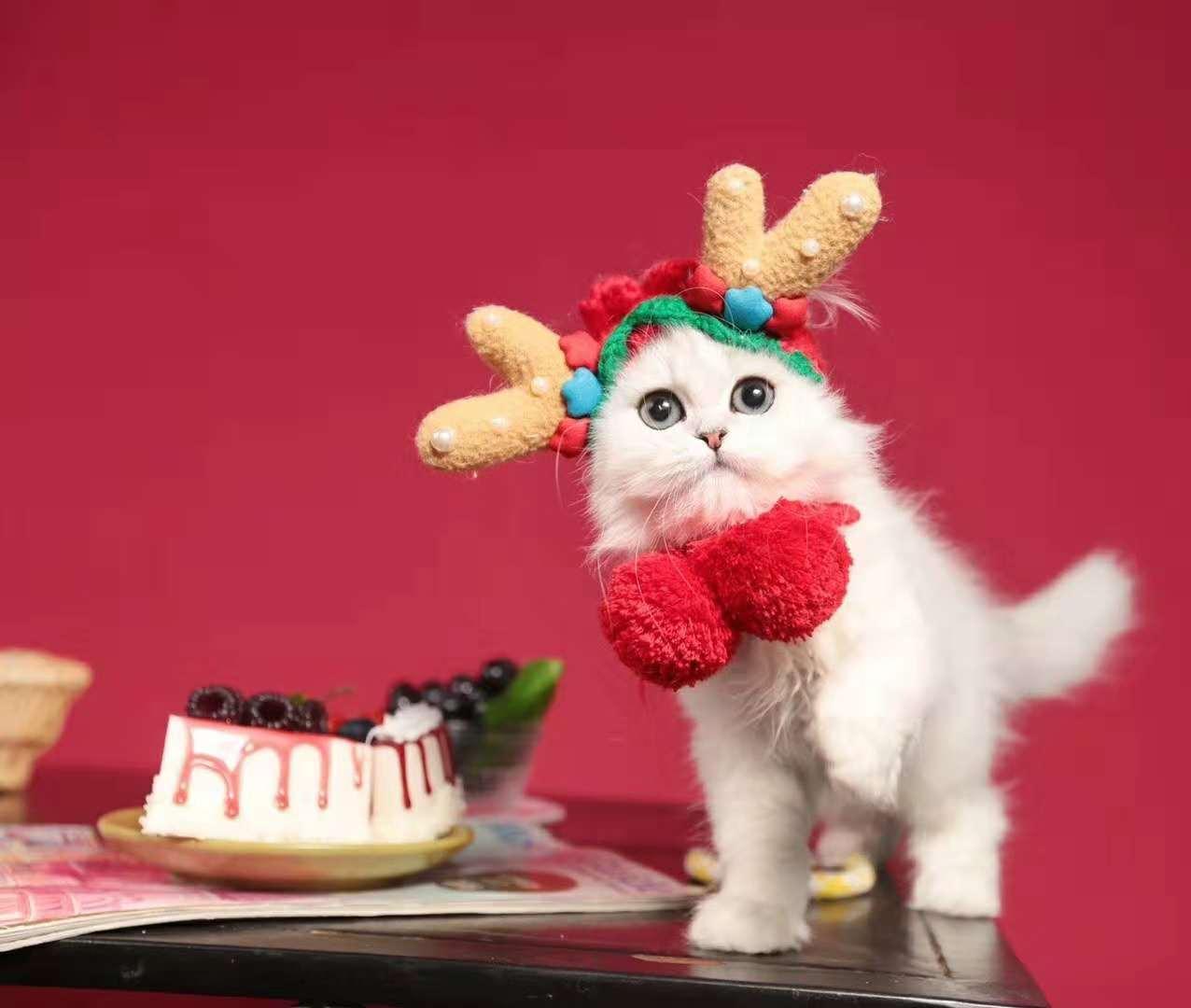 美国CFA认证猫舍 英短 金吉拉 优惠送不停