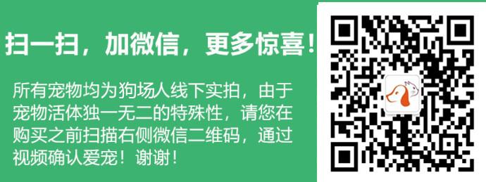 可爱韩系泰迪犬特价出售中 纯家养保证品质和健康5