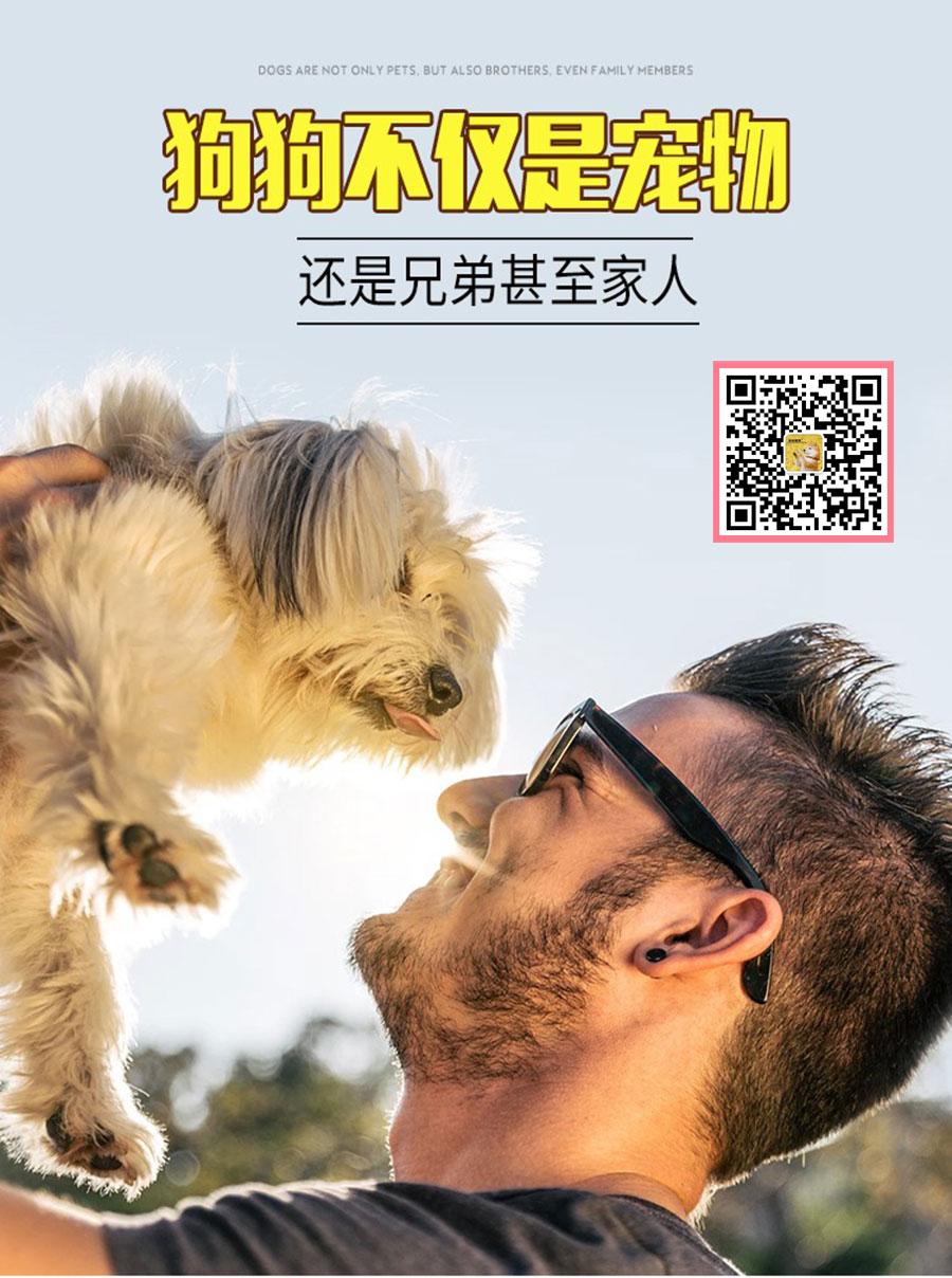 长期出售精品松狮犬幼犬 800一只 支持全国送货上门5