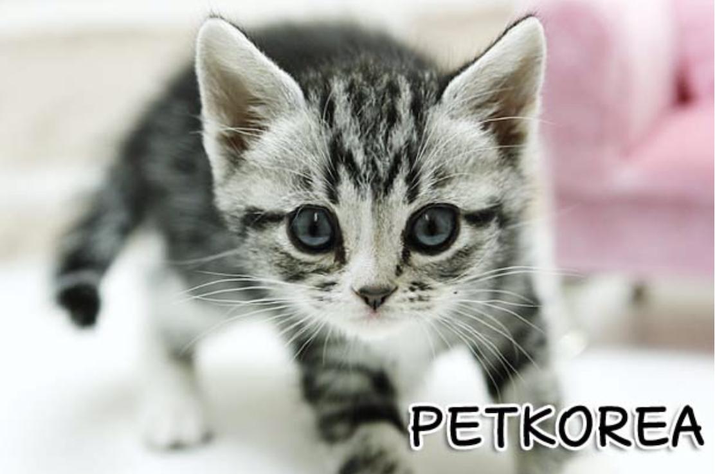 各种猫都有~赶紧联系·! 韩国人经营的宠物店!高品质宠物