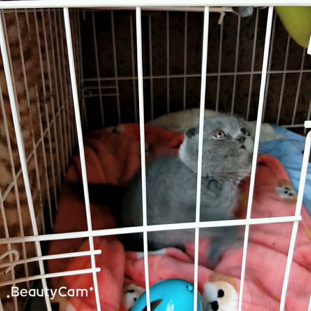 苏州本地家养蓝猫领养宠物猫咪英短蓝猫蓝白英国短毛猫折耳猫