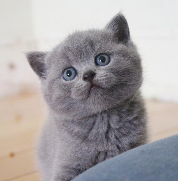 苏州本地家养蓝猫立耳折耳均有宠物猫咪性格好可领养