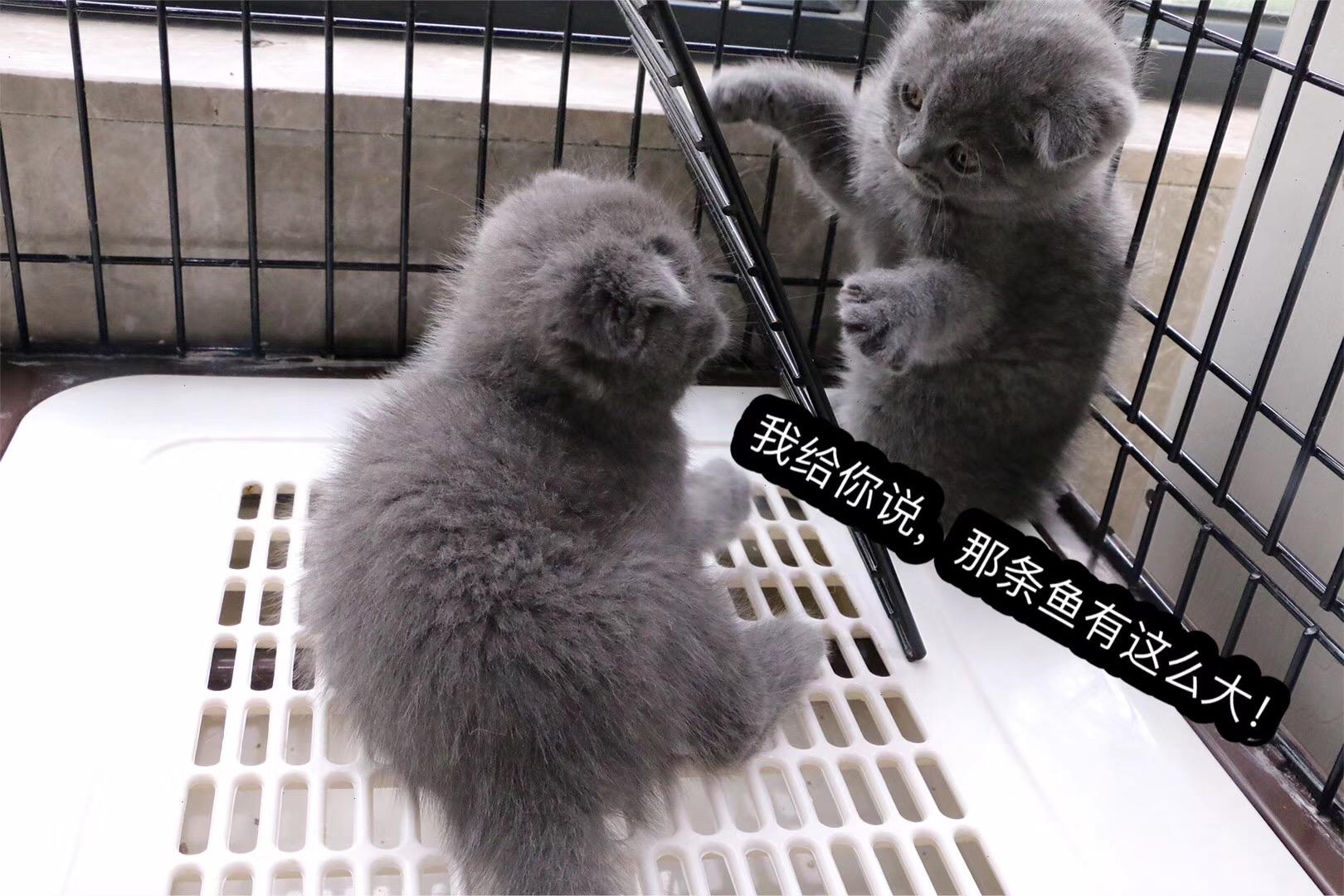 纯种蓝猫欢迎到店选购