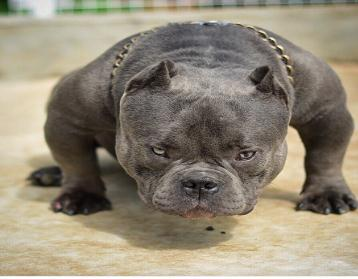 长期繁殖纯种美国恶霸 各类纯种名犬 包养活签协议