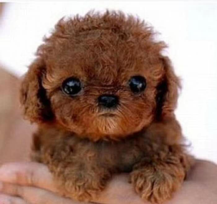 长期繁殖茶杯犬博美比熊 各类纯种名犬 包养活签协议3