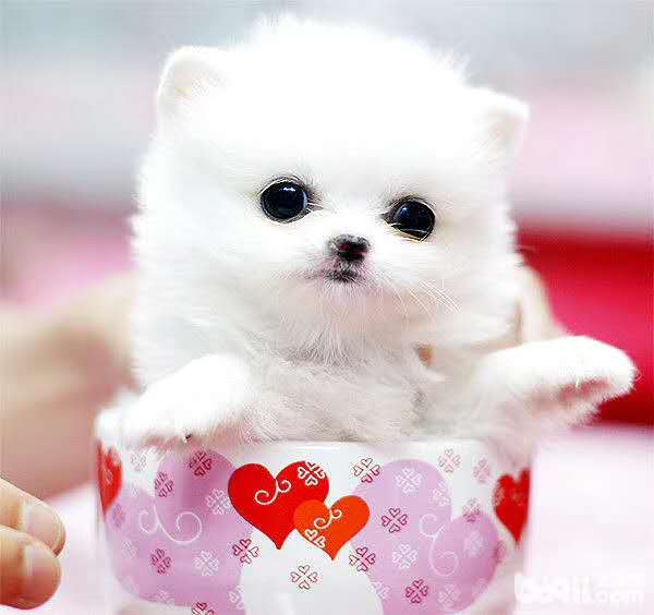 长期繁殖茶杯犬博美比熊 各类纯种名犬 包养活签协议2