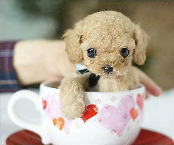 长期繁殖茶杯犬博美比熊 各类纯种名犬 包养活签协议4
