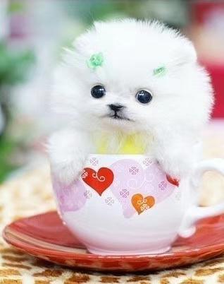 长期繁殖茶杯犬博美比熊 各类纯种名犬 包养活签协议1