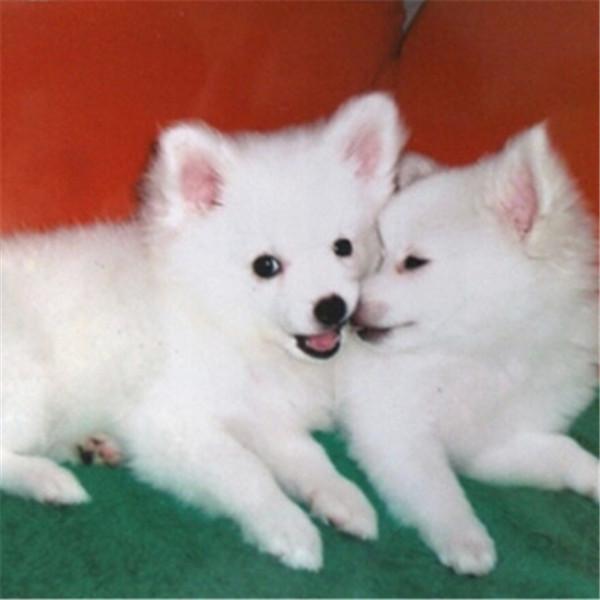 银狐幼犬尖嘴白色狐狸犬幼犬宠物狗狗活体 第三方交易