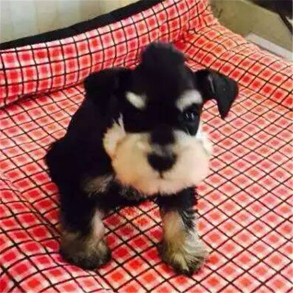 纯种雪纳瑞幼犬椒盐灰色雪纳瑞宠物狗出售 第三方交易