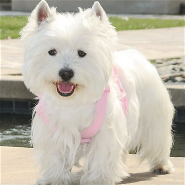 长期繁殖西高地白梗幼犬 包养活签协议 第三方交易