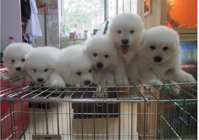 宠物狗萨摩 我们给你最优质的狗狗
