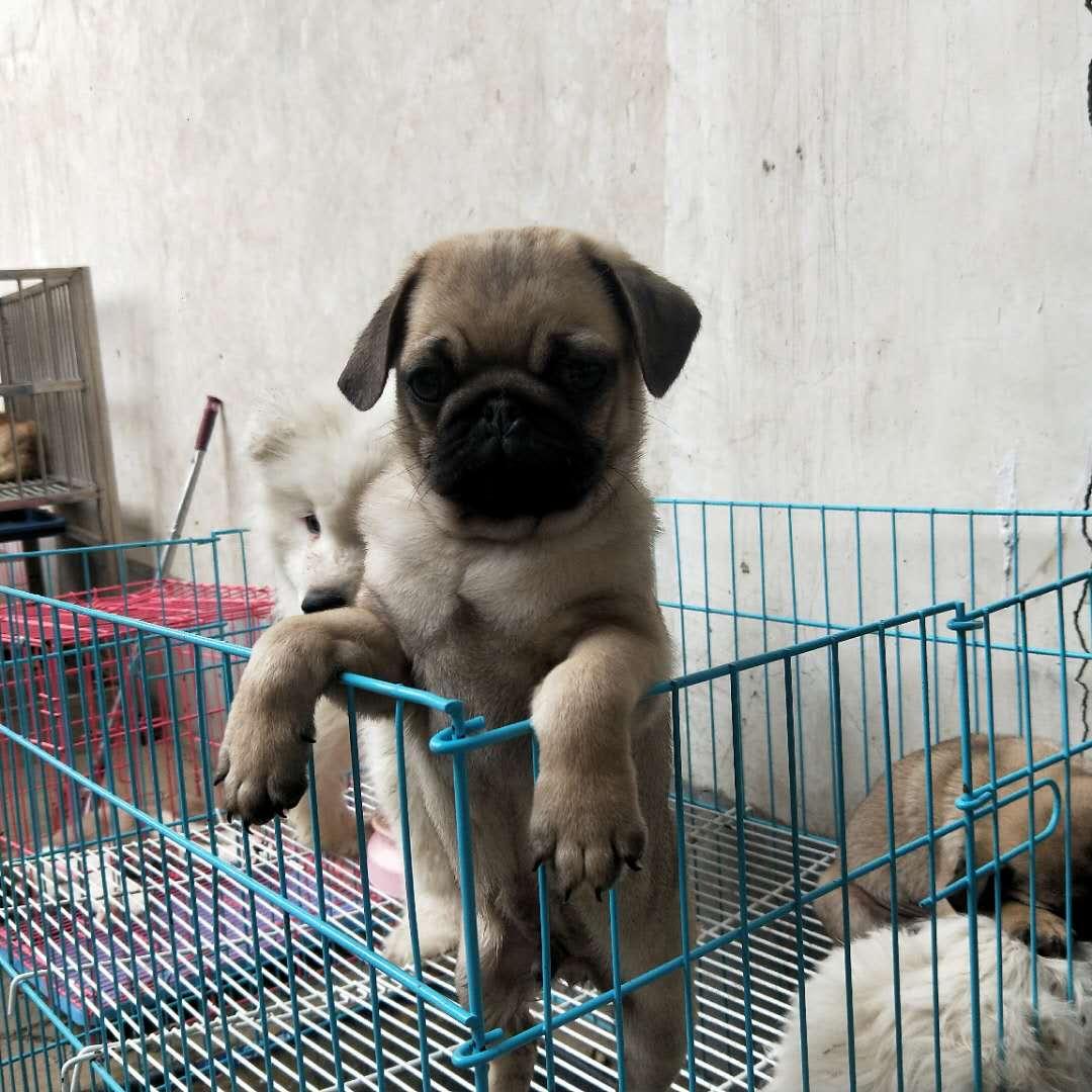 出售纯种巴哥幼犬 已做三针疫苗 价格优惠