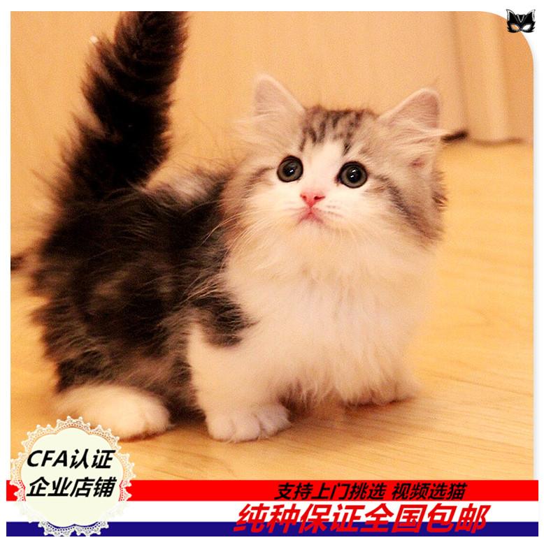 纯种曼基康矮脚猫短腿猫幼猫活体宠物猫可签订健康协议可挑选