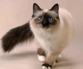 猫有哪种品种呢 深圳哪里有卖暹罗猫