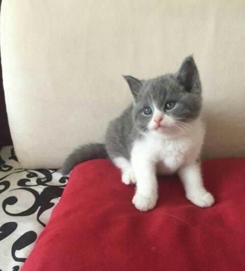 我要买猫 英国短毛猫 广州英国短毛猫  我们只做纯种好品质猫猫 品种