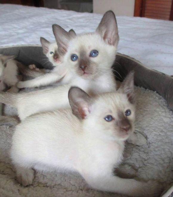 小暹罗猫幼崽,高品质暹罗东莞哪里有暹罗猫卖?