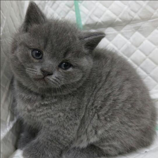 精品包子脸蓝猫惠州哪里有卖蓝猫