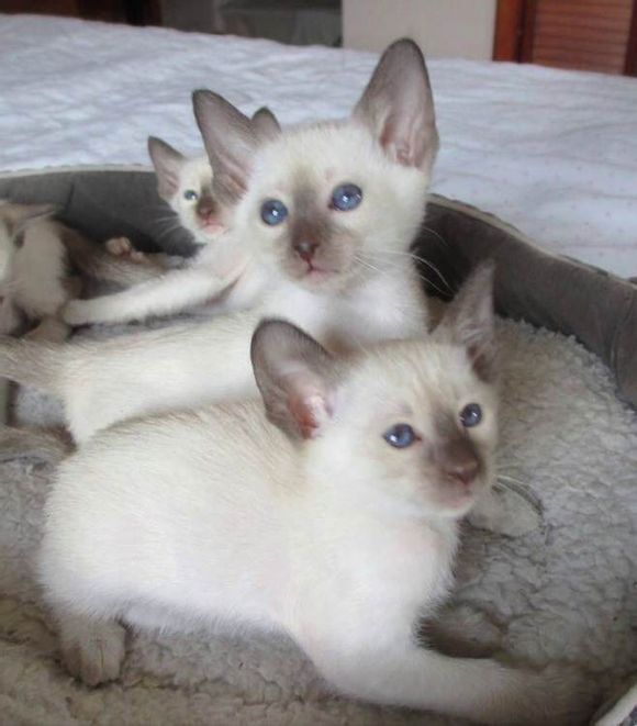 深圳有无靠谱的暹罗猫舍深圳哪里有卖暹罗猫