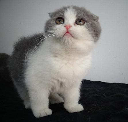 折耳猫幼猫卖 价格实惠 血统纯中山哪里有卖折耳猫