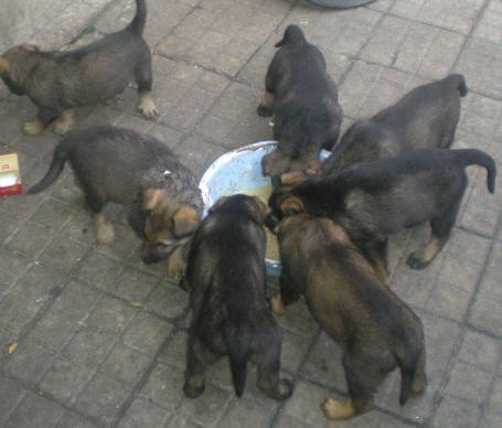 丽江纯种昆明犬多少钱一只丽江什么地方卖昆明犬2