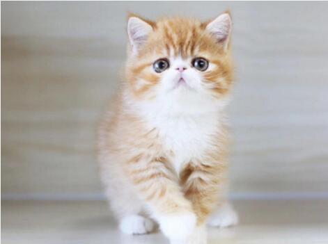 北京加菲猫多少钱 哪卖加菲猫 加菲猫图片 加菲猫幼猫