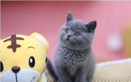 北京蓝猫多少钱 北京哪卖蓝猫 蓝猫图片 蓝猫幼猫