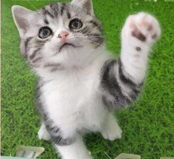 北京美短多少钱 北京哪卖美短 美短图片 美短幼猫