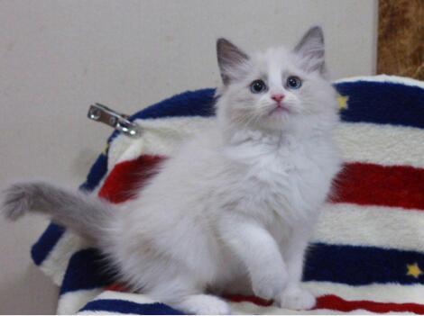 北京布偶猫多少钱 哪卖布偶猫 布偶猫图片 布偶猫幼猫
