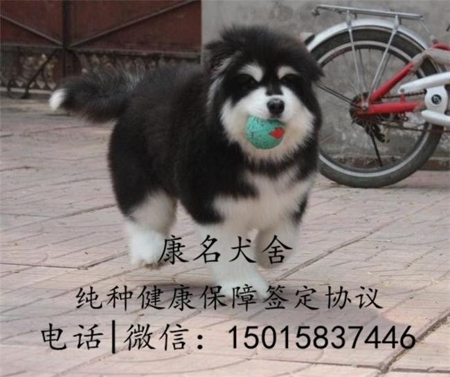 狗场出售纯种阿拉斯加犬、阿拉斯加犬多少钱4