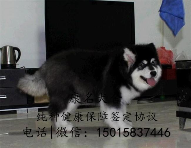 狗场出售纯种阿拉斯加犬、阿拉斯加犬多少钱3