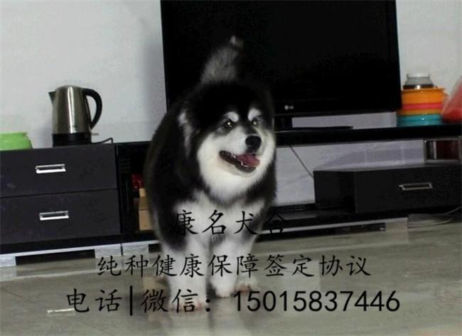 狗场出售纯种阿拉斯加犬、阿拉斯加犬多少钱1