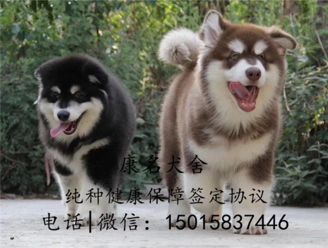狗场出售纯种阿拉斯加犬、阿拉斯加犬多少钱2