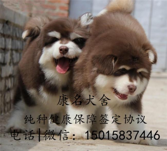 狗场出售纯种阿拉斯加犬、阿拉斯加犬多少钱5