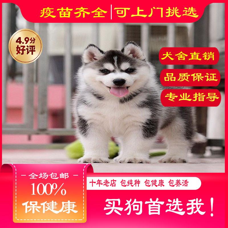出售精品哈士奇犬 打完疫苗证书齐全 提供养狗指导