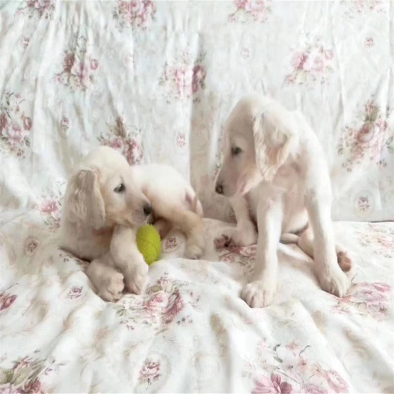 出售精品阿富汗猎犬 打完疫苗证书齐全 提供养狗指导