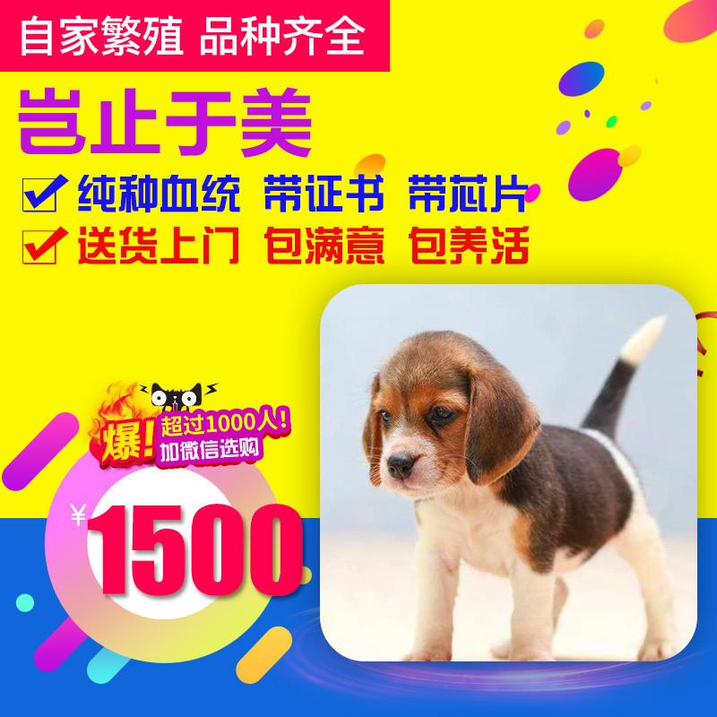 出售精品比格犬 打完疫苗证书齐全 提供养狗指导1