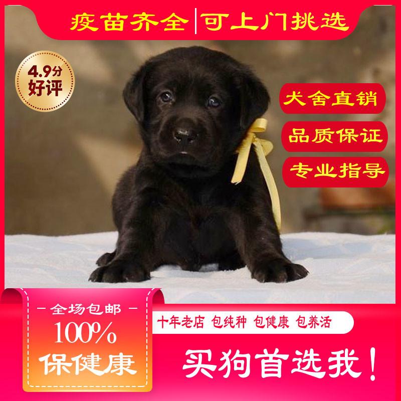 出售精品拉布拉多 打完疫苗证书齐全 提供养狗指导